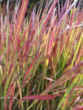 Imperata cylindrica ´Red Baron´