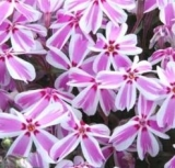 PLAMENKA - Phlox subulata ´Candy Stripes´