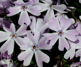 PLAMENKA - Phlox subulata ´Emerald Cushion Blue´