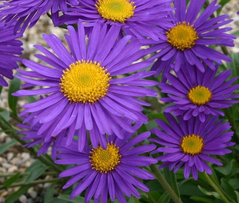ASTRA SKALKOVÁ - Aster alpinus ´Beauty Blue´