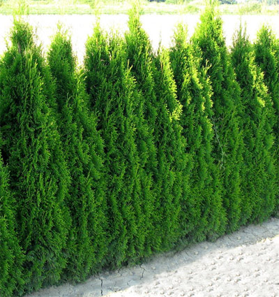 Thuja occidentalis smaragd cena
